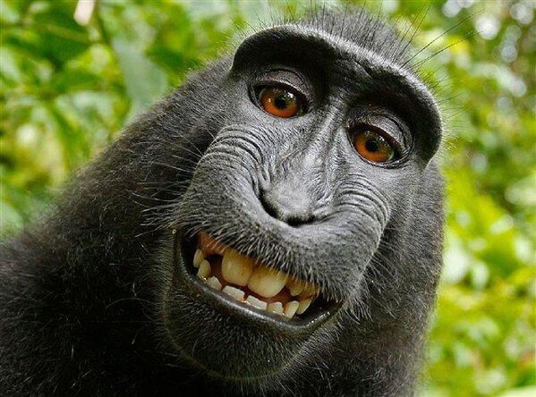 selfie macaque singe